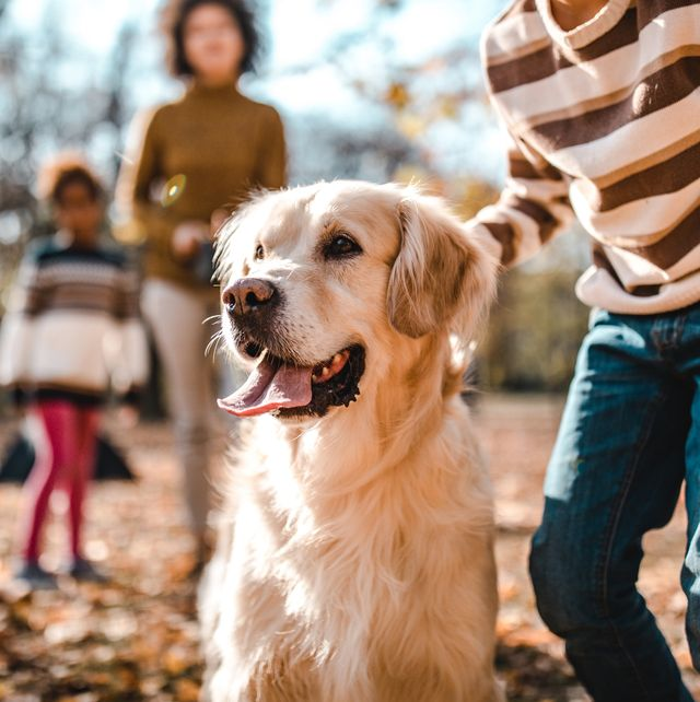 golden retriever with his owners at the park