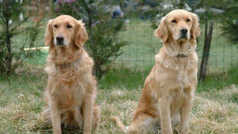 Pet Sit Their Two Golden Retrievers