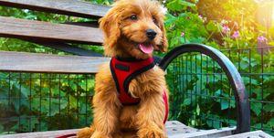 Miniature Goldendoodle puppy dog portrait