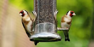 Goldfinch  (Carduelis-carduelis) perched on bird feeder