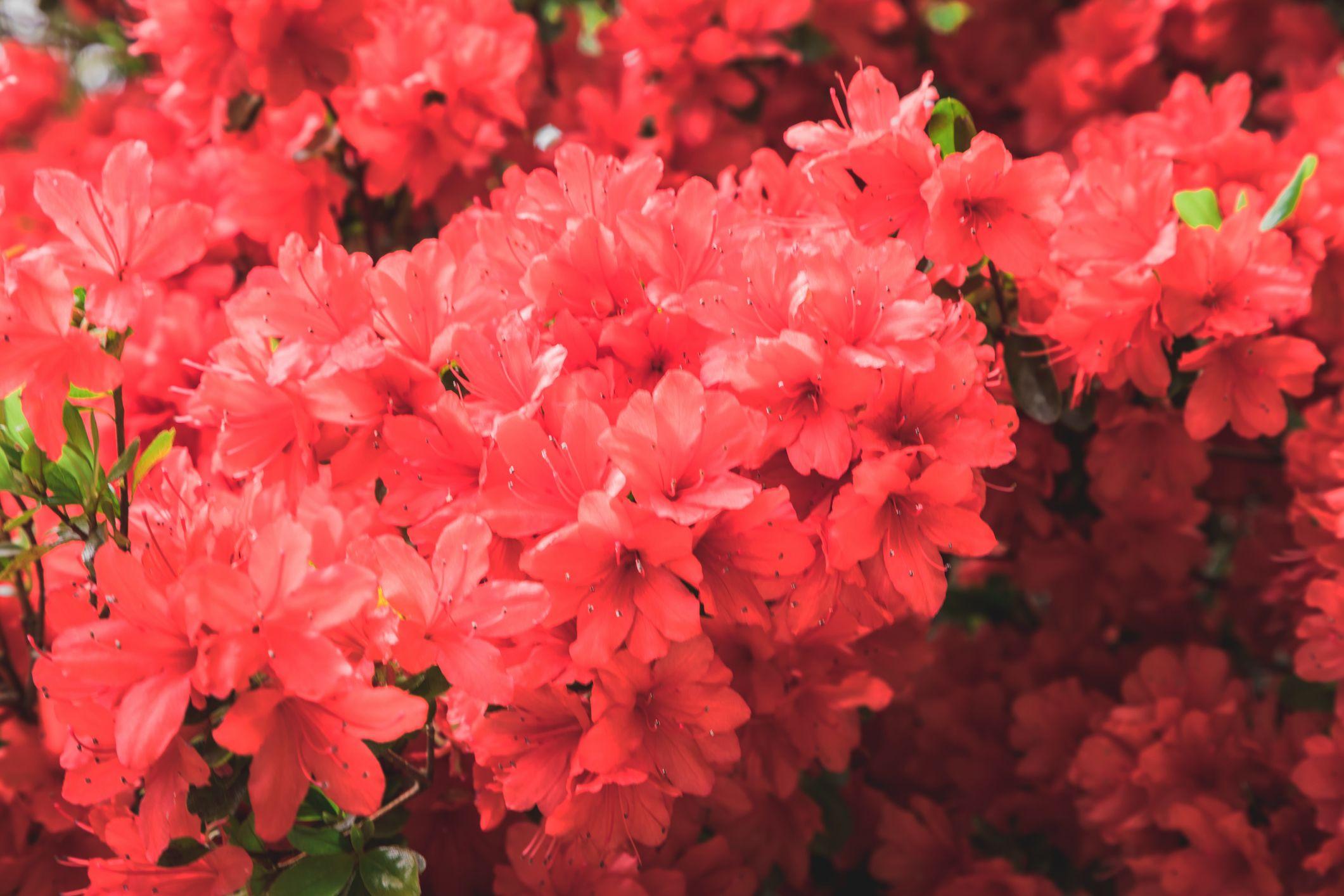 stewartstonian azalea low maintenance shrubs