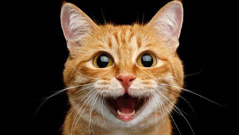 Gorgeous Ginger Cat on Isolated Black background