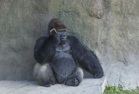 gorilla telefoon