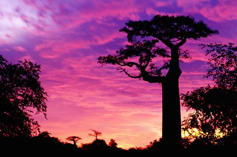 Sky, Tree, Afterglow, Nature, Branch, Vegetation, Silhouette, Sunset, Adansonia, Woody plant,
