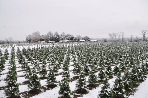 Christmas Tree Farms In Georgia.21 Best Christmas Tree Farms Christmas Tree Farms Near Me