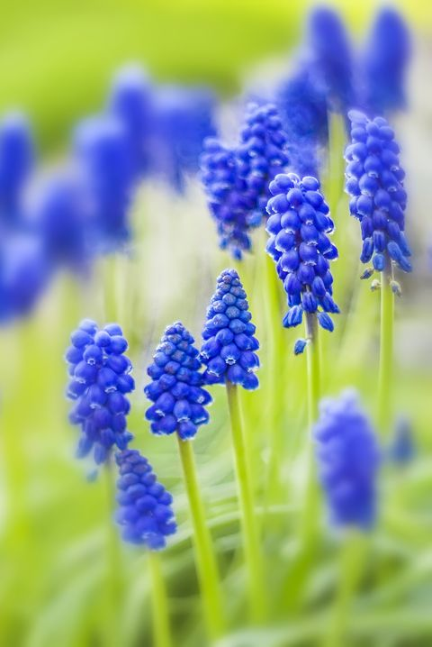 grape hyacinth flower muscari