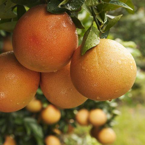 グレープフルーツ,健康,効果的,11の理由,栄養価,抗酸化作用,免疫システムの維持,栄養士 解説,5 a day 運動,【基礎知識】グレープフルーツとは?