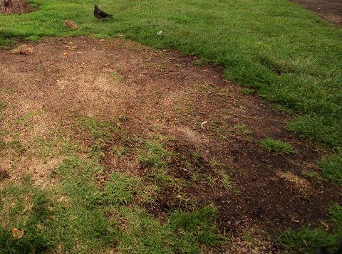 003066.ME.0222.grass.LH Steve Mozena, Venedik tahta kaldırım tarafındaki çıplak kir nedeniyle üzgün.