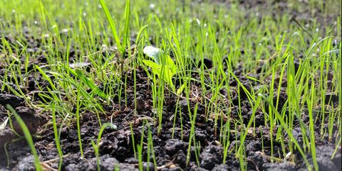 Grass, Plant, Soil, Grass family, Crop, Field, Flower, Agriculture, Sedge family, Flowering plant,