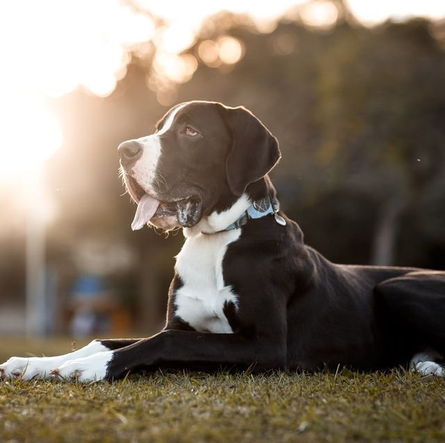these 27 dog breeds are more at risk of bone cancer, new study says