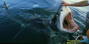 great white shark, carcharodon carcharias, attracted to boat by bait,sa