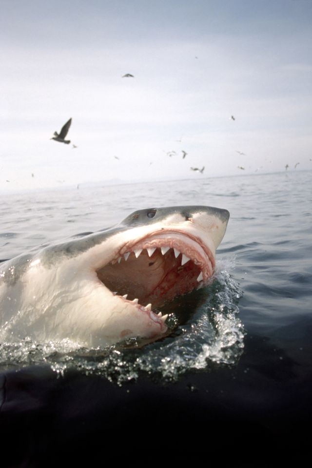 great white shark, carcharodon carcharias, with open mouth breaks through the water surface