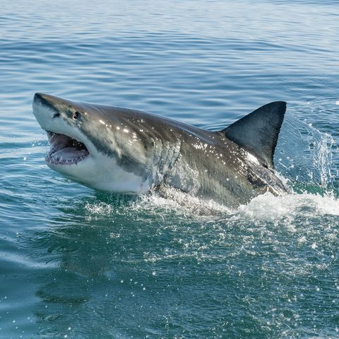 Watch the Crazy Moment a Great White Shark Leaps in Front of Boy on Cape Cod Boat