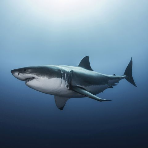 Great white shark (Carcharodon carcharias) swimming in Pacific ocean water of Guadalupe Island, Mexico