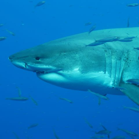 great white swims through bait fish