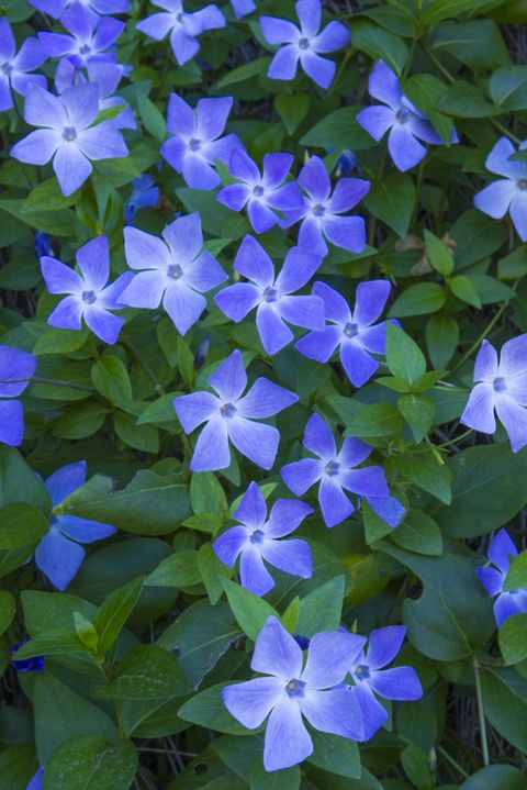 Greater periwinkle (Vinca major) shade perennials backyard garden