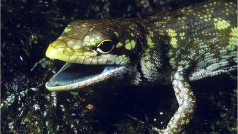 Reptile, Vertebrate, Lizard, Scaled reptile, Terrestrial animal, Adaptation, Wall lizard, Skink, Organism, Amphibian,