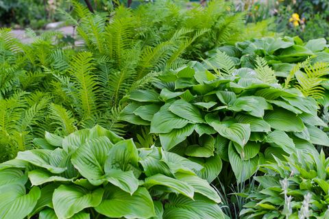 How To Grow Hostas Where Plant In Your Garden