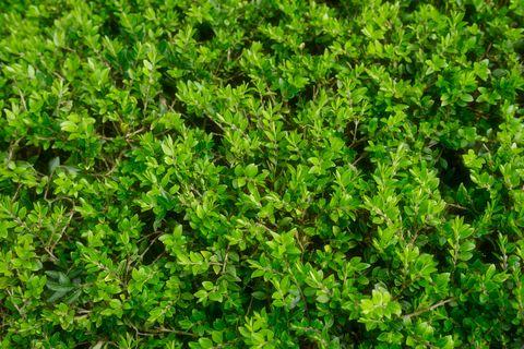 10 Best Low Maintenance Bushes And Shrubs Easy Garden