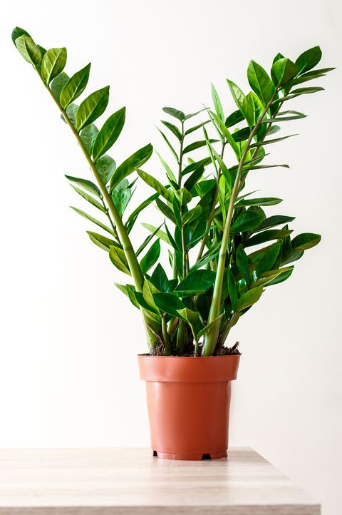 Green leaves of Zamioculcas on white background