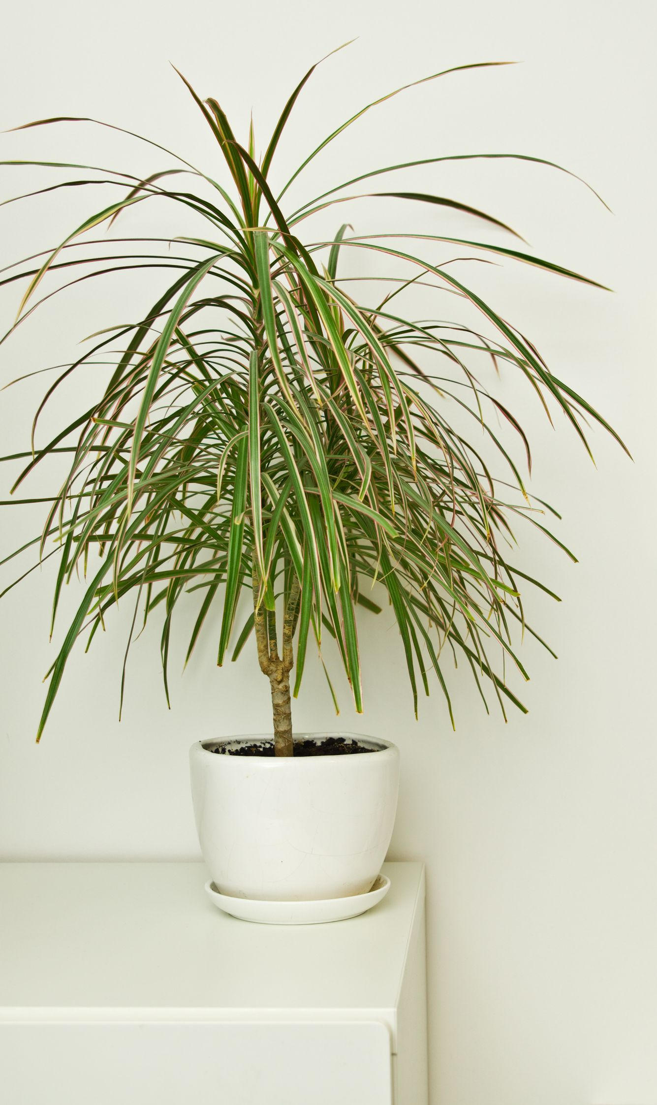 Green pot plant in white room as decoration. Dracaena.