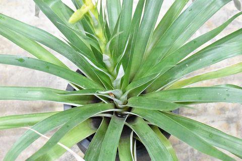 Plant, Terrestrial plant, Flower, Yucca, Leaf, Houseplant, Agave, Botany, Flowering plant, Agave azul,