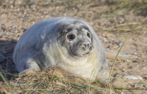 Grey seal pups photo