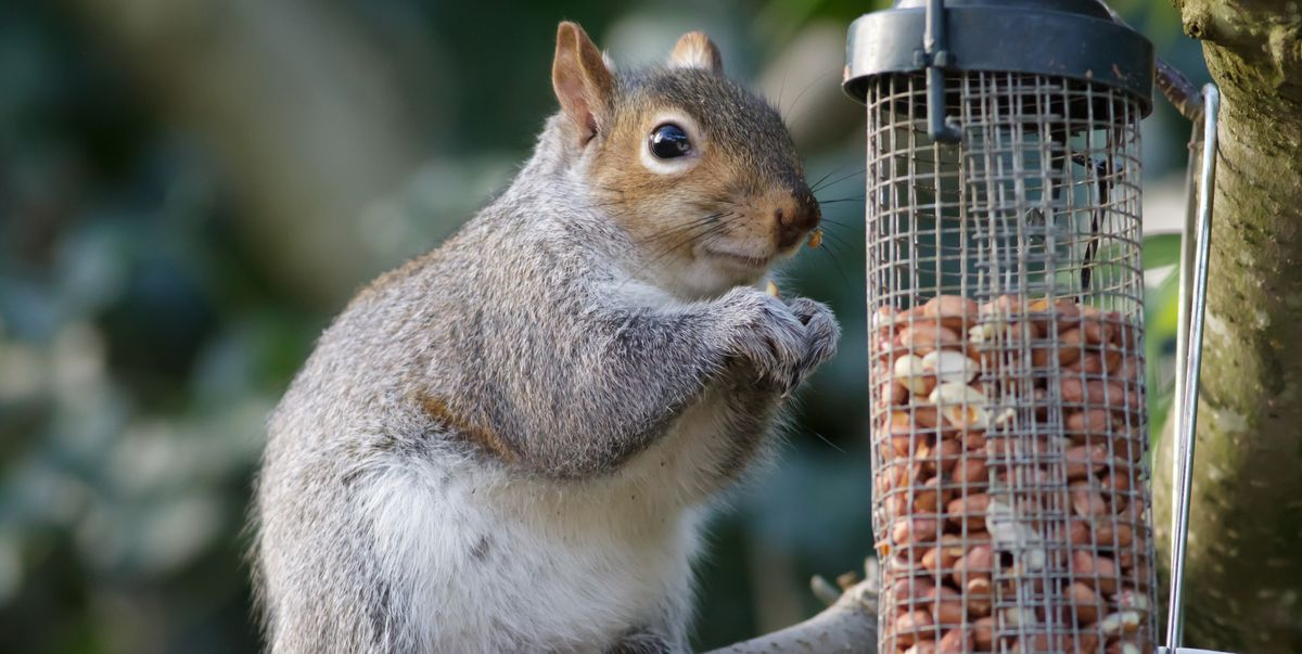grey squirrel royalty free image 1571061725 jpg?crop=1 00xw:0 753xh;0,0 0905xh&resize=1200:*.'