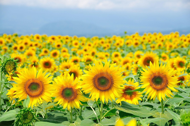 sunflower field near me grinter's sunflower farm kansas