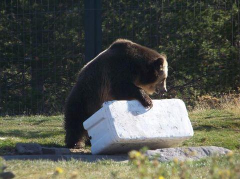 Vertebrate, Grizzly bear, Mammal, Bear, Brown bear, Terrestrial animal, American black bear, Wildlife, Nature reserve, Wilderness,