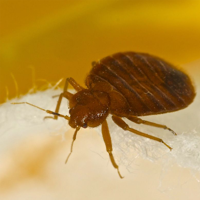 bed bugs warts