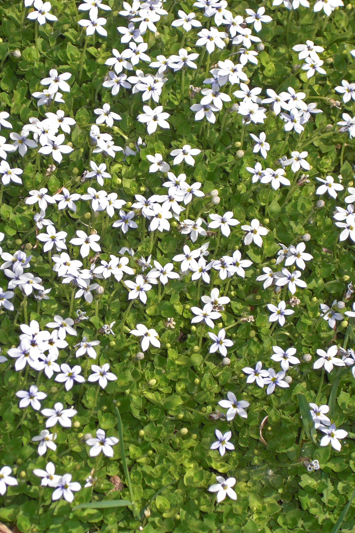 13 Best Ground Cover Flowers And Plants Low Growing Perennial Flowers