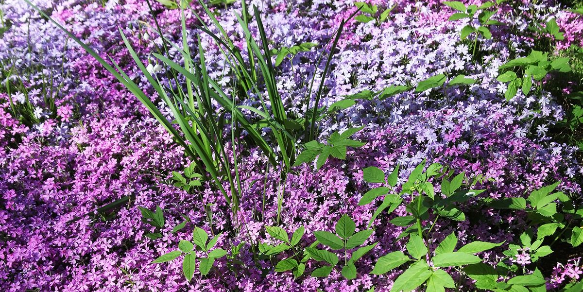 22 Best Ground Cover Plants Low, Ground Cover Flowering Plants
