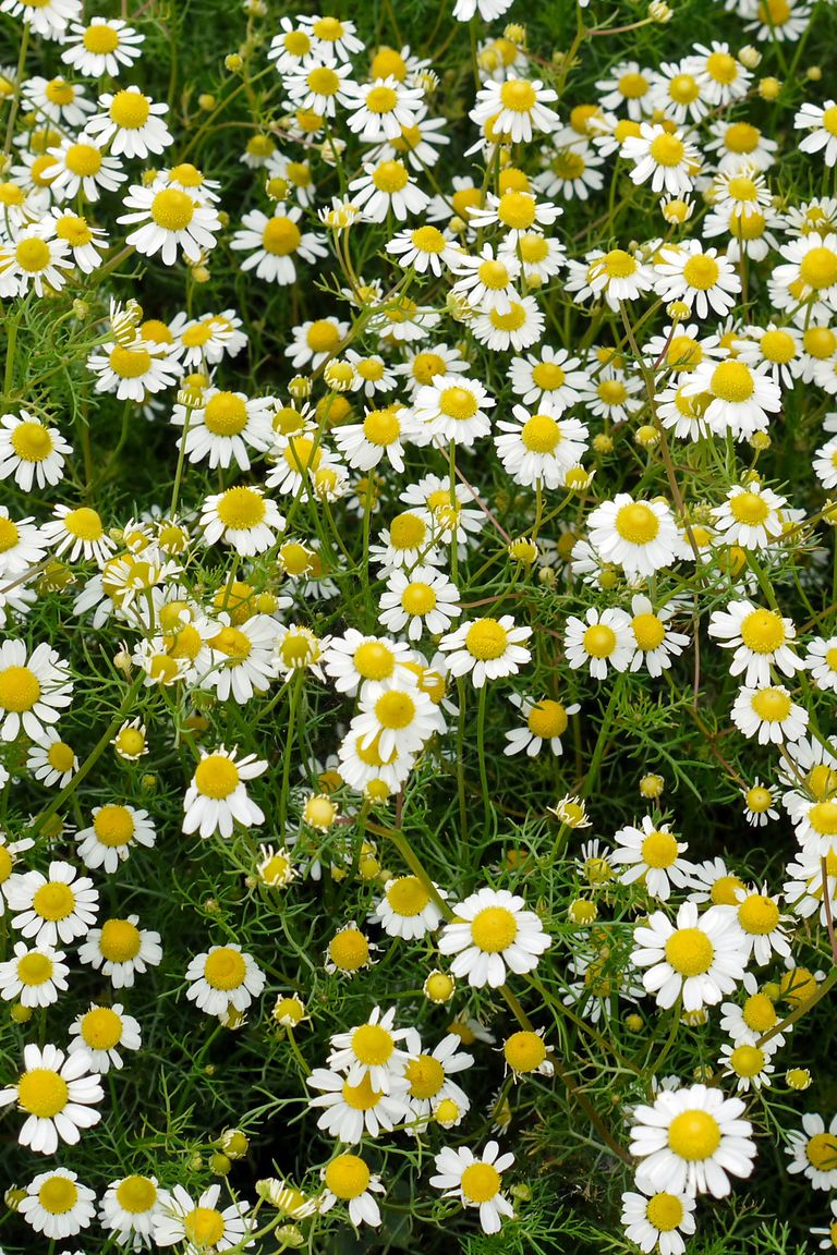 Best Ground Cover Plants For Sun