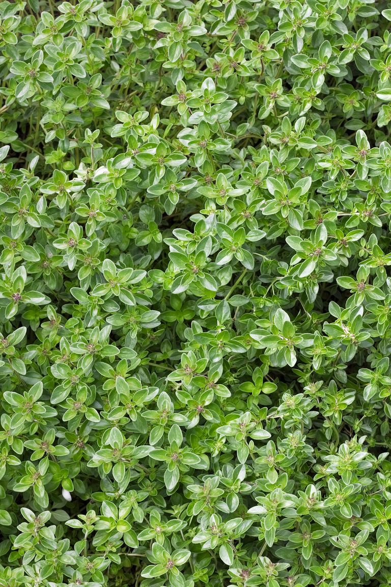 Perennial Ground Cover Full Sun: 13 Best Ground Cover Flowers And Plants