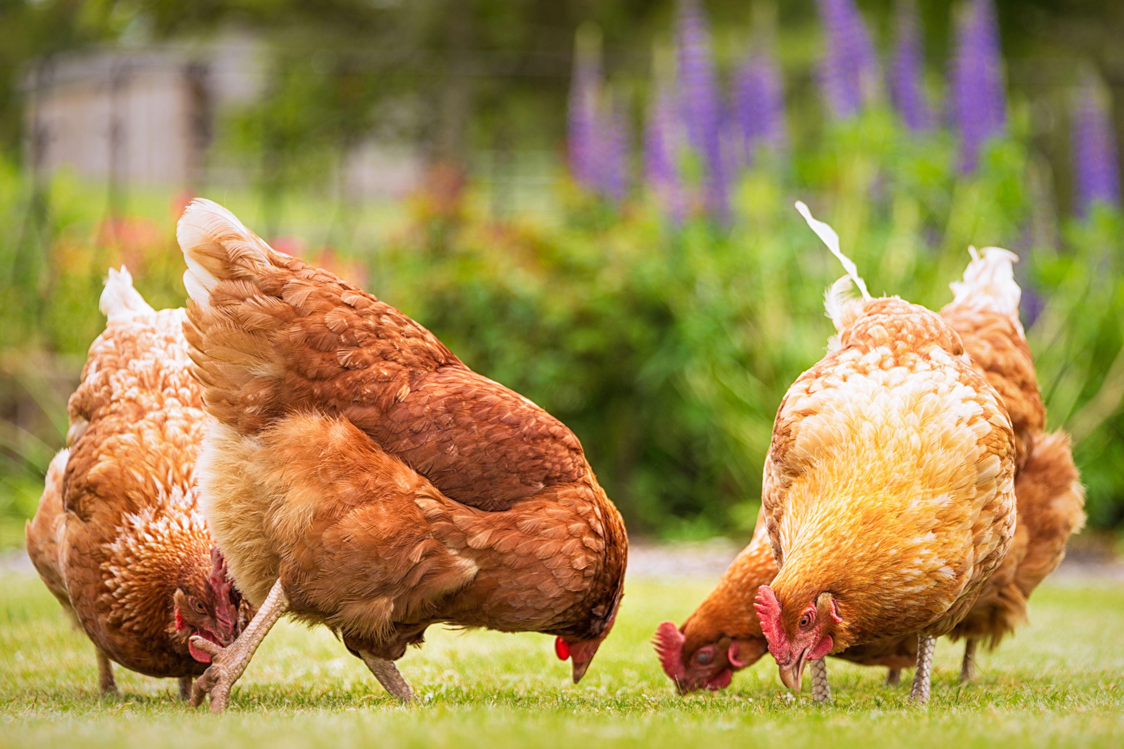 Backyard Chicken.com how to raise backyard chickens - backyard chickens 101