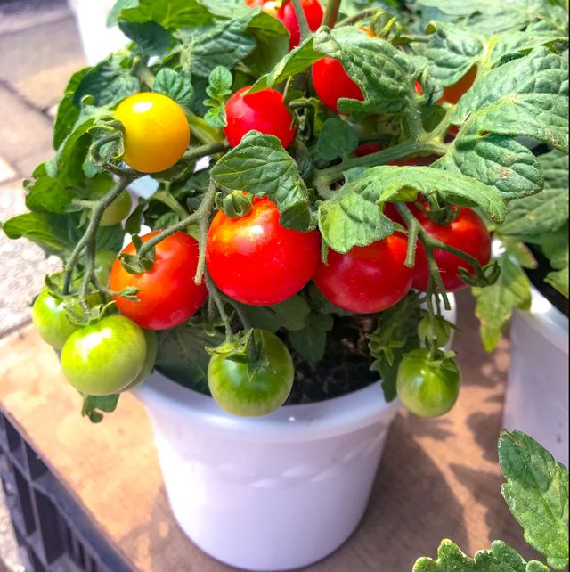 grow fruit and vegetables in post  tomatoes