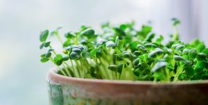 Growing microgreens in pot on white background, selective focus