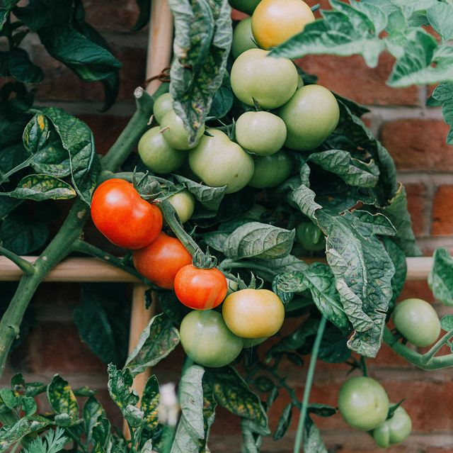 growing tomatoes   how to grow tomatoes