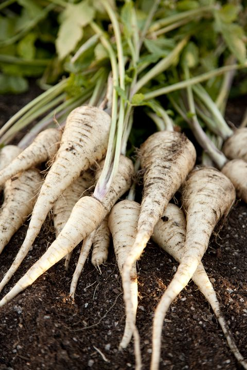 guide to root vegetables  parsnips