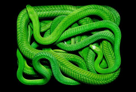 Snake, Serpent, Green, Reptile, Scaled reptile, Smooth Greensnake, Colubridae, Mamba, Plains Gartersnake, Western green mamba,
