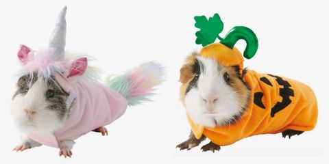 Guinea pig, Rodent, Hamster,