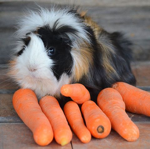 Guinea Pig Breeds Abyssinian Eating Carrots