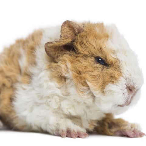 Guinea Pig Breeds Alpaca White Background