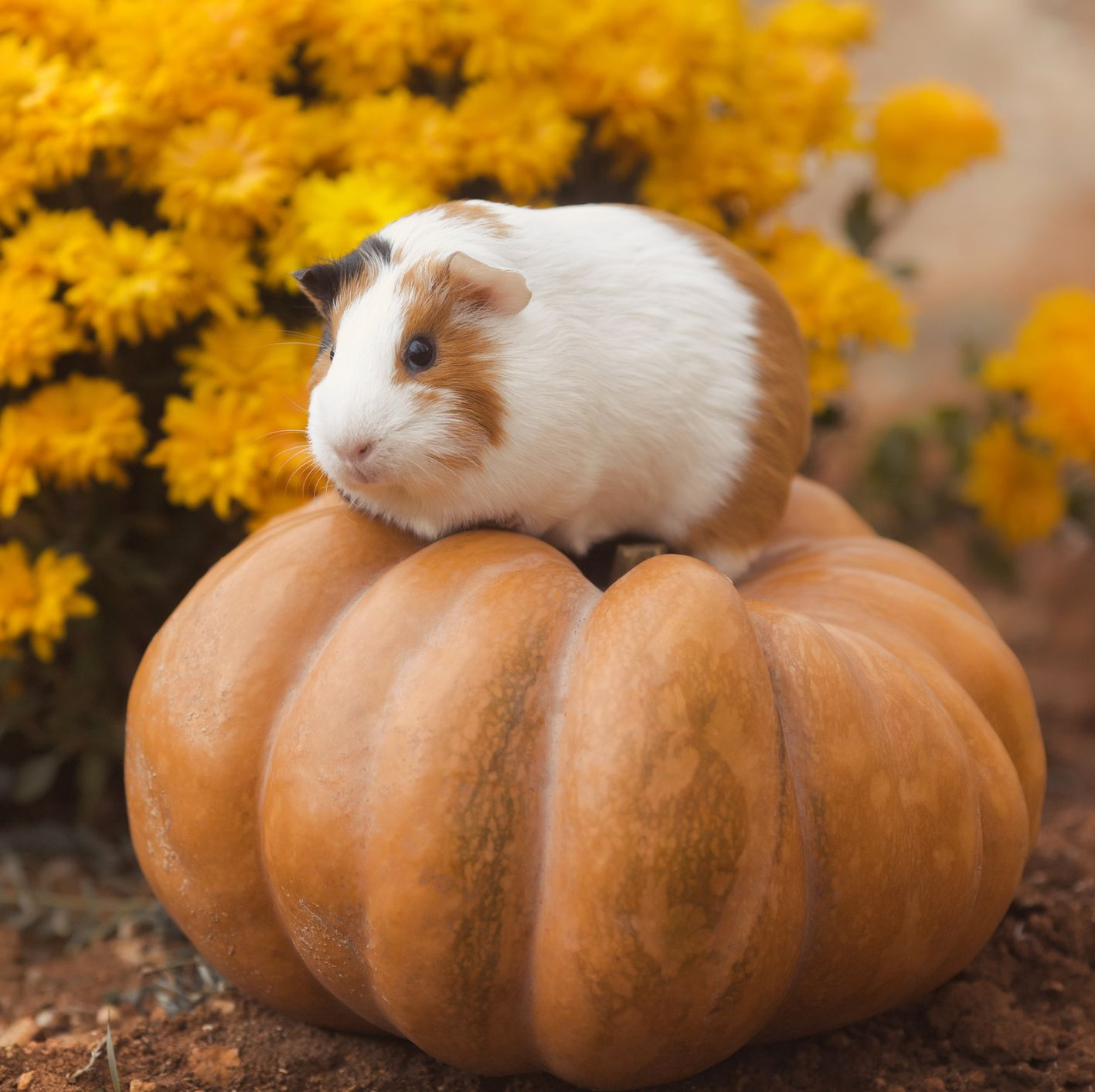 Guinea Pig Breeds American on Pumpkin with Yellow Flowers