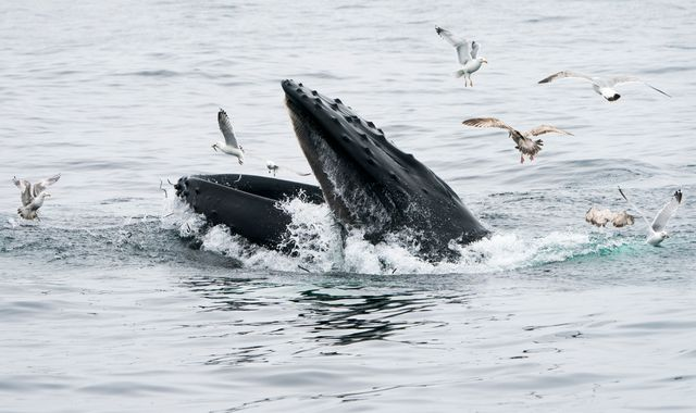 humpback whale open mouth