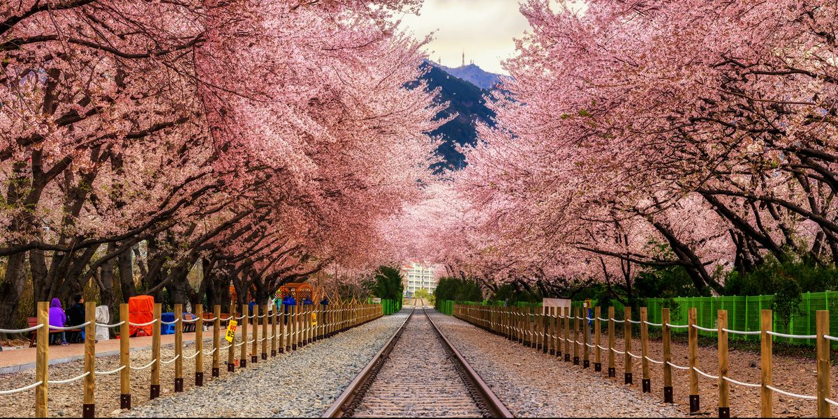 The Most Beautiful Places to See Cherry Blossoms Around the  World