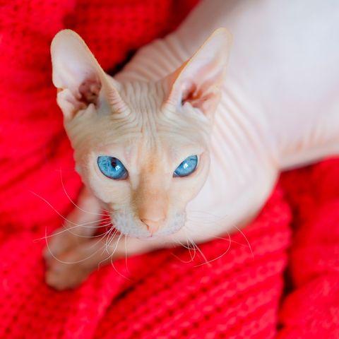 hairless-cat-breeds-donskoy