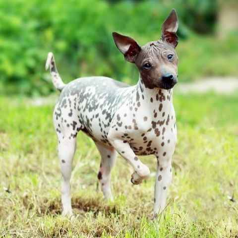 hairless dog breeds - American Hairless Terrier
