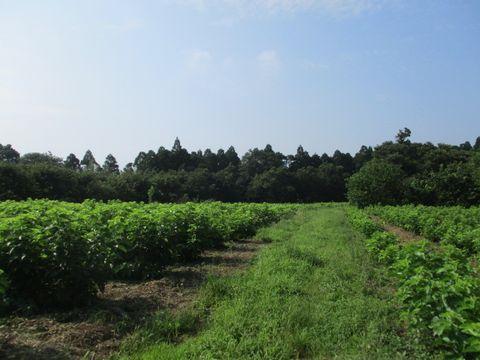 8月の花井さんの桑畑